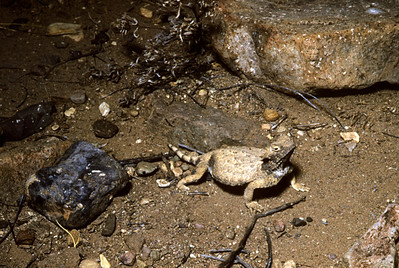 Round-tailed Horned Lizard (Phrynosoma modestum) Big Bend National Park, TX, 1958