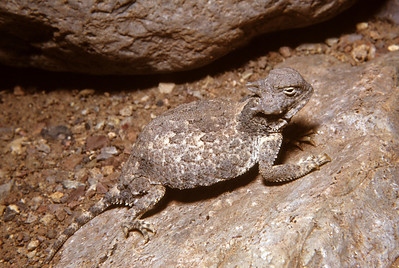 Round-tailed Horned Lizard (Phrynosoma modestum) Big Bend National Park, TX, 1959