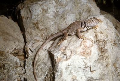 Eastern Collared Lizard (Crotaphytus collaris) Big Bend National Park, TX, 1958