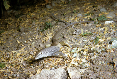 Marbled Whiptail (Aspidoscelis marmorata) Big Bend National Park, TX, 1958