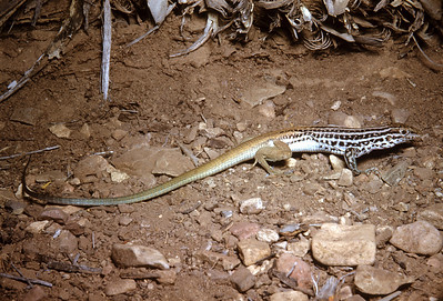 Chihuahuan Spotted Whiptail (Aspidoscelis exsanguis) Big Bend National Park, TX, 1958