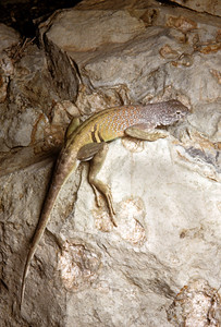 Greater Earless Lizard (Cophosaurus texanus) Big Bend National Park, TX, 1958