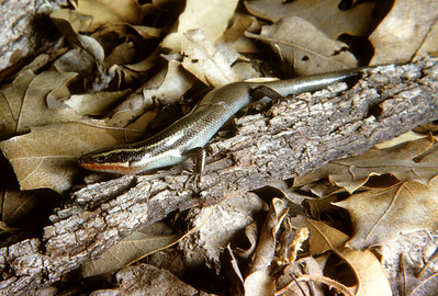 Short-lined Skink (Eumeces tetragrammus brevilineatus) Pine Canyon, Big Bend National Park, TX, 1958