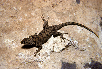 Canyon Lizard (Sceloporus merriami) Big Bend National Park, TX, 1959