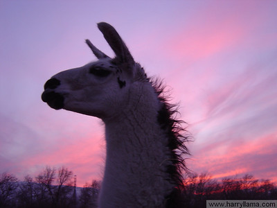 Lenny Llama at sunset.