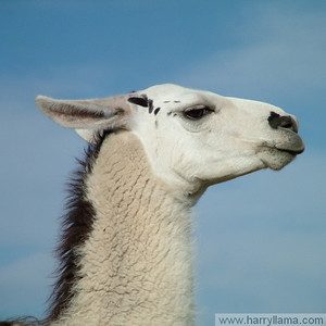 A handsome llama profile.