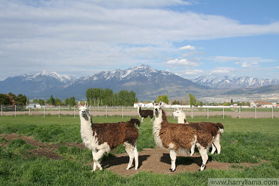 Llamas in the Rockies