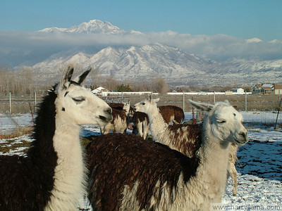 Feeding time for the llamas, in front of the Wasatch Mountains. Fernando Llama on the left, Daisy on the right.