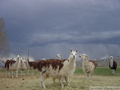 Feeding time for the herd, with Mario in the front, Fernando Llama on the far right.