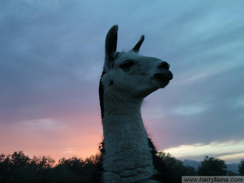 Lenny Llama at sunset.