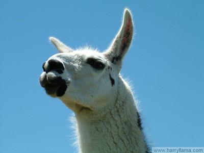 Lenny Llama.
