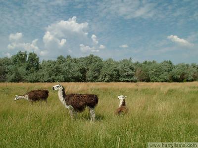 Llamas in the summer pasture.