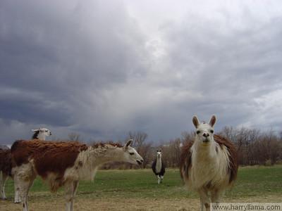 Curious llamas.
