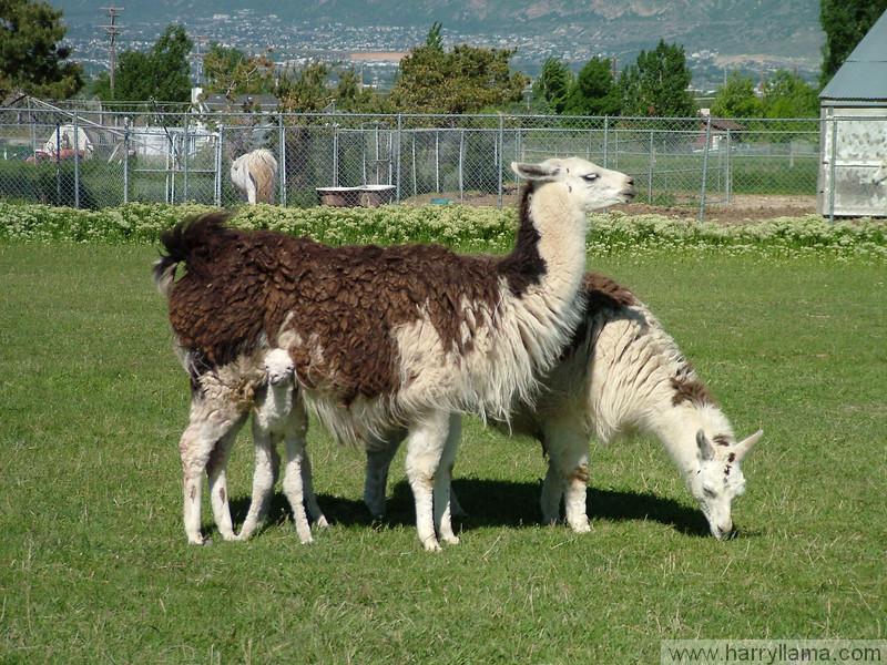 The llama family: Daisy, Mario, and baby Eduardo, peeking out.