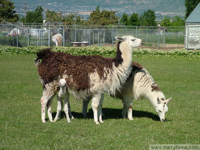 The llama family: Daisy, Mario, and baby Eduardo, peeking out.