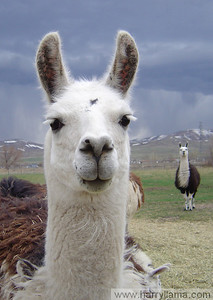 Daisy, the friendly llama, with her father Lorenzo Llama in the background.