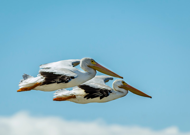 American White Pelicans Fly in Formation