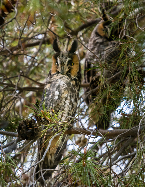 Two Long-eared Owls