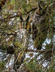 Two Long-eared Owls