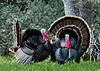 Wild tom turkeys strut their stuff