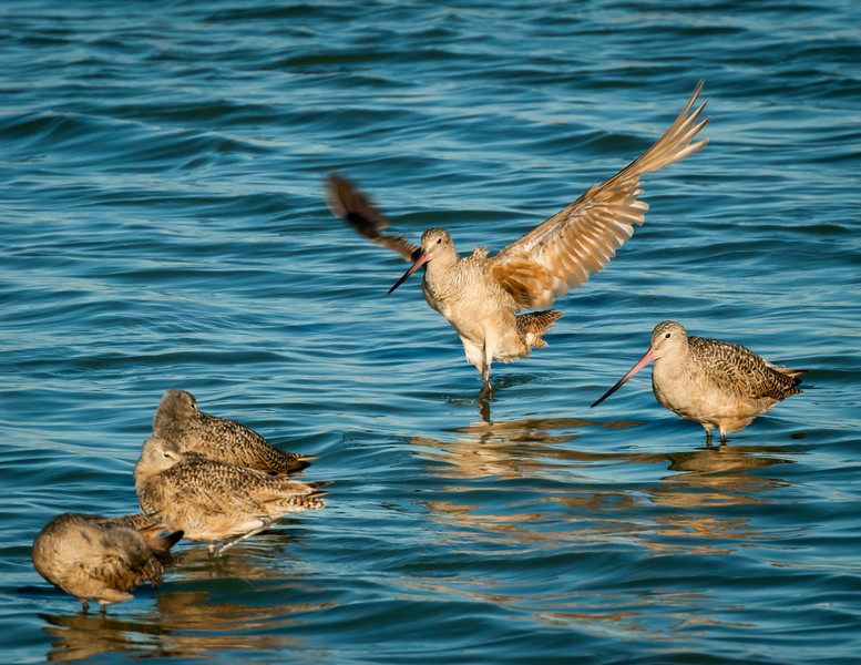 Marbled Godwit comes in for a perfect landing