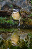 Black-headed Grosbeak Reflection