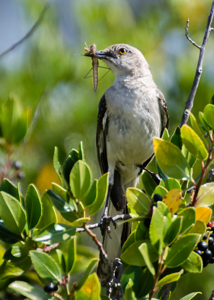 Mockingbird parent carries a tasty morsel