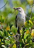 Mockingbird parent carries a tasty morsel