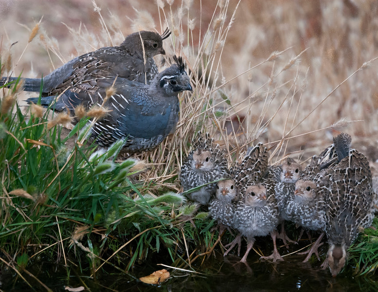 A California Quail family comes in for a drink