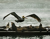 Brown Pelican in Breeding Plumage Flies in Over the Harbor