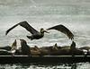 Brown Pelican in Breeding Plumage Flies in Over the Harbor