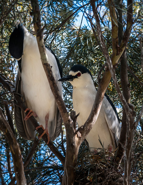 Courting Black-crowned Night Herons