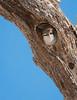 Nesting Ash-throated Flycatcher