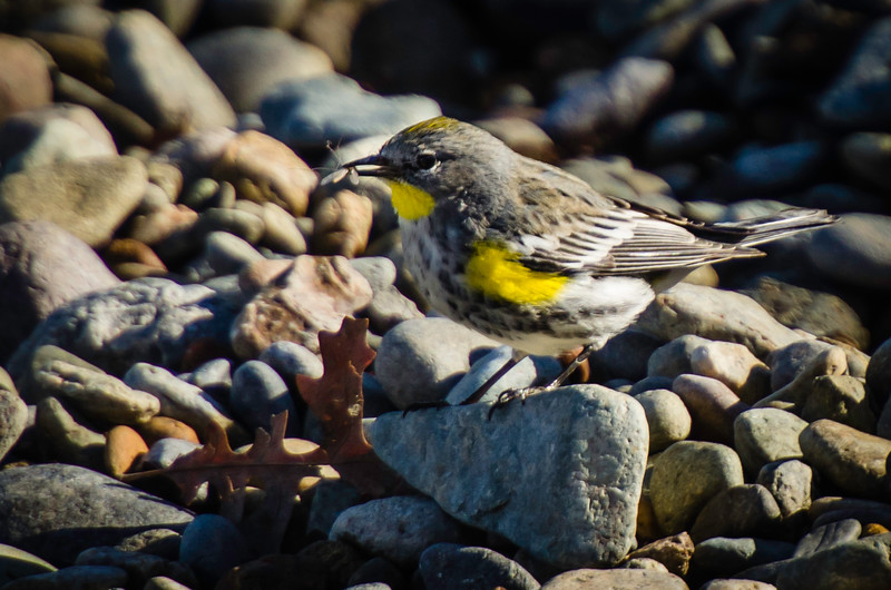 Yellow-rumped Warbler with insect