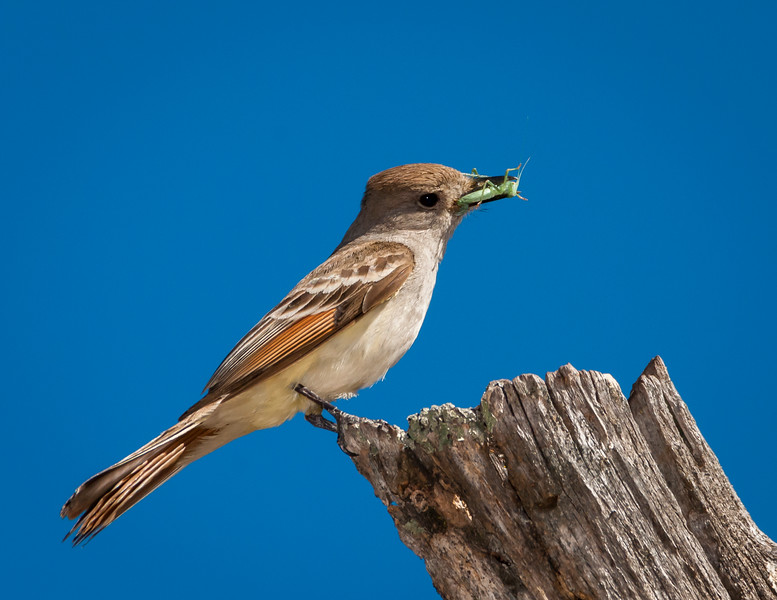 Ash-throated Flycatcher with a snack for her young