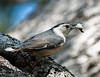 White Brested Nuthatch carrying fecal sac from the nest