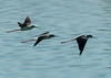 Black-necked Stilts in flight