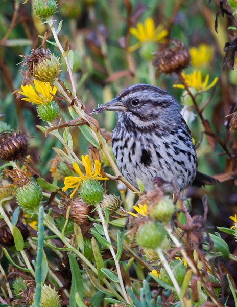 Song Sparrow eating Gridelia flower seeds