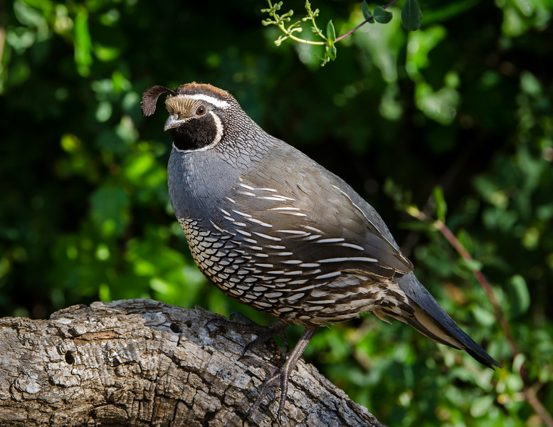 Adult Male California Quail