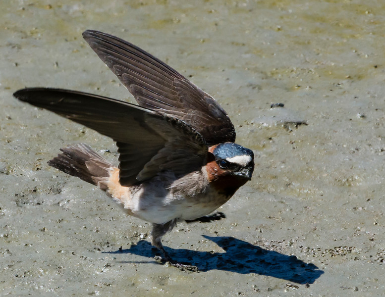 Cliff Swallow looks for just the right mud for nest building