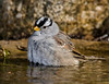 White-crowned Sparrow in the bath