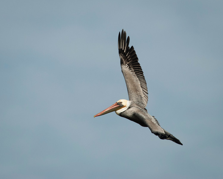 California Brown pelican circling in