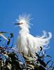 Snowy egret shows off breeding plumage