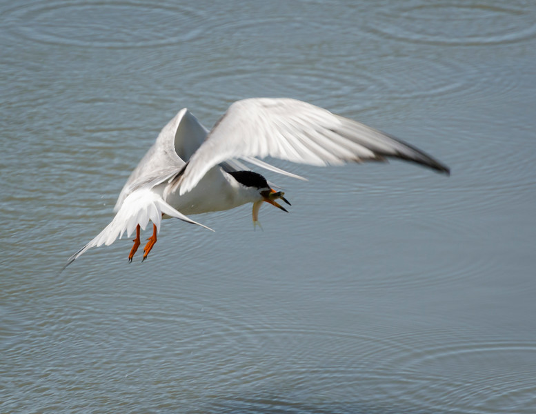 Common Tern catches lunch