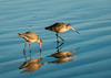 Marbled godwit pair foraging at surf line