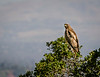 Red-Tailed Hawk Keeps Watch