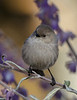 American Bushtit hunts among late fall Salvia blooms
