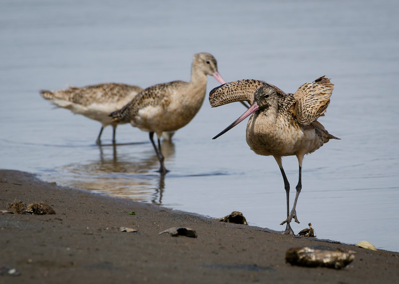 Marbled Godwit trio