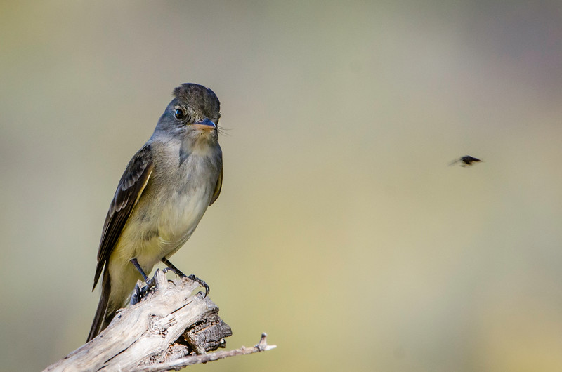 Ash-throated Flycatcher eyes a possible meal