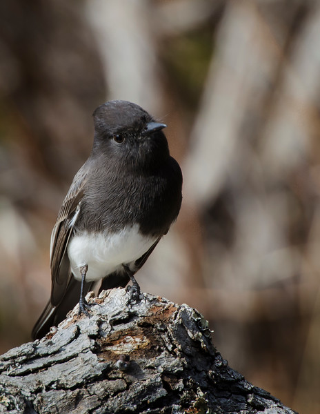 Black Phoebe on a log